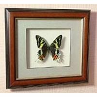 Картина-панно Бабочка Урания мадагаскарская S145 д