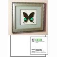 Картина панно бабочка Парусник Карна,  S 21c