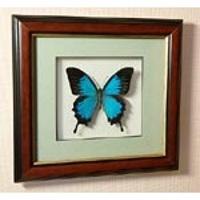 Картина-панно Бабочка Парусник Улисс или синий парусник ума и дальновидности 38 д